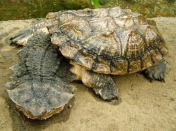 Matamata (Google image)